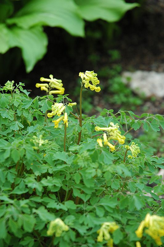 Golden corydalis corydalis lutea in kalamazoo portage for Indoor gardening kalamazoo