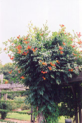 Trumpetvine (Campsis radicans) at Wedel's Nursery, Florist and Garden Center