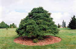 Threadleaf Falsecypress (Chamaecyparis pisifera 'Filifera') at Wedel's Nursery, Florist and Garden Center