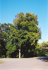 Shellbark Hickory (Carya laciniosa) at Wedel's Nursery, Florist and Garden Center