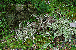 Japanese Painted Fern (Athyrium nipponicum 'Pictum') at Wedel's Nursery, Florist and Garden Center