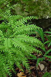 Northern Maidenhair Fern (Adiantum pedatum) at Wedel's Nursery, Florist and Garden Center