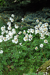 Windflower (Anemone sylvestris) at Wedel's Nursery, Florist and Garden Center
