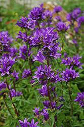 Clustered Bellflower (Campanula glomerata) at Wedel's Nursery, Florist and Garden Center