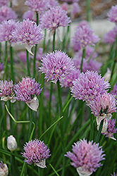 Chives (Allium schoenoprasum) at Wedel's Nursery, Florist and Garden Center