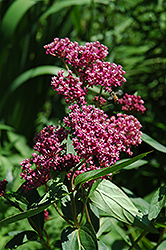 Swamp Milkweed (Asclepias incarnata) at Wedel's Nursery, Florist and Garden Center