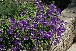 Blue Clips Bellflower (Campanula carpatica 'Blue Clips') at Wedel's Nursery, Florist and Garden Center