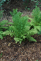 Lady Fern (Athyrium filix-femina) at Wedel's Nursery, Florist and Garden Center