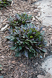 Chocolate Chip Bugleweed (Ajuga reptans 'Chocolate Chip') at Wedel's Nursery, Florist and Garden Center
