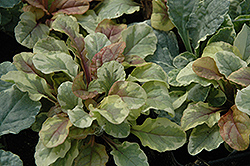 Golden Glow Bugleweed (Ajuga reptans 'Golden Glow') at Wedel's Nursery, Florist and Garden Center