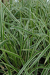 Ice Dance Sedge (Carex morrowii 'Ice Dance') at Wedel's Nursery, Florist and Garden Center