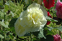 Chater's Double Yellow Hollyhock (Alcea rosea 'Chater's Double Yellow') at Wedel's Nursery, Florist and Garden Center