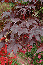 Bloodgood Japanese Maple (Acer palmatum 'Bloodgood') at Wedel's Nursery, Florist and Garden Center
