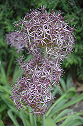 Star Of Persia Onion (Allium christophii) at Wedel's Nursery, Florist and Garden Center