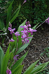 Lavender Japanese Hyacinth Orchid (Bletilla striata) at Wedel's Nursery, Florist and Garden Center