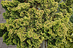 Dwarf Golden Hinoki Falsecypress (Chamaecyparis obtusa 'Nana Lutea') at Wedel's Nursery, Florist and Garden Center