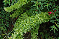 Myers Foxtail Fern (Asparagus densiflorus 'Myers') at Wedel's Nursery, Florist and Garden Center
