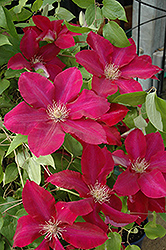 Rebecca Clematis (Clematis 'Rebecca') at Wedel's Nursery, Florist and Garden Center