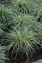 Evergold Variegated Japanese Sedge (Carex oshimensis 'Evergold') at Wedel's Nursery, Florist and Garden Center