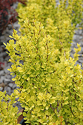 Sunjoy Gold Pillar® Japanese Barberry (Berberis thunbergii 'Maria') at Wedel's Nursery, Florist and Garden Center