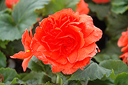 Nonstop® Salmon Begonia (Begonia 'Nonstop Salmon') at Wedel's Nursery, Florist and Garden Center