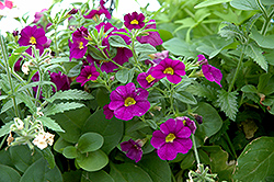 Superbells® Blue Calibrachoa (Calibrachoa 'Superbells Blue') at Wedel's Nursery, Florist and Garden Center