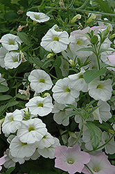 Superbells® White Calibrachoa (Calibrachoa 'Superbells White') at Wedel's Nursery, Florist and Garden Center