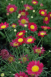 Madeira Red Marguerite Daisy (Argyranthemum frutescens 'Madeira Red') at Wedel's Nursery, Florist and Garden Center