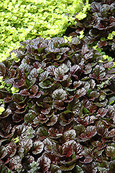 Black Scallop Bugleweed (Ajuga reptans 'Black Scallop') at Wedel's Nursery, Florist and Garden Center