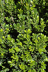 Baby Gem™ Boxwood (Buxus microphylla 'Gregem') at Wedel's Nursery, Florist and Garden Center