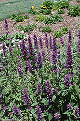 Blue Boa® Hyssop (Agastache 'Blue Boa') at Wedel's Nursery, Florist and Garden Center