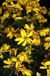 Electric Avenue Tickseed (Coreopsis verticillata 'Electric Avenue') at Wedel's Nursery, Florist and Garden Center