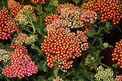 New Vintage Red Yarrow (Achillea millefolium 'Balvinred') at Wedel's Nursery, Florist and Garden Center