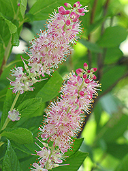 Ruby Spice Summersweet (Clethra alnifolia 'Ruby Spice') at Wedel's Nursery, Florist and Garden Center