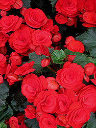 Nonstop® Red Begonia (Begonia 'Nonstop Red') at Wedel's Nursery, Florist and Garden Center