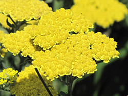 Moonshine Yarrow (Achillea 'Moonshine') at Wedel's Nursery, Florist and Garden Center