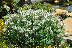 Senorita Blanca Spiderflower (Cleome 'Senorita Blanca') at Wedel's Nursery, Florist and Garden Center