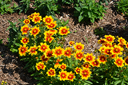 UpTick™ Gold and Bronze Tickseed (Coreopsis 'Baluptgonz') at Wedel's Nursery, Florist and Garden Center