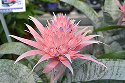 Urn Plant (Aechmea fasciata) at Wedel's Nursery, Florist and Garden Center