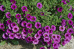 Callie® Purple Calibrachoa (Calibrachoa 'Callie Purple') at Wedel's Nursery, Florist and Garden Center