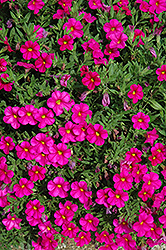 Callie® Rose Calibrachoa (Calibrachoa 'Callie Rose') at Wedel's Nursery, Florist and Garden Center