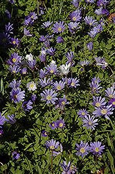 Grecian Windflower (Anemone blanda) at Wedel's Nursery, Florist and Garden Center