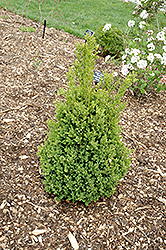 Green Mountain Boxwood (Buxus 'Green Mountain') at Wedel's Nursery, Florist and Garden Center