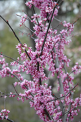 Forest Pansy Redbud (Cercis canadensis 'Forest Pansy') at Wedel's Nursery, Florist and Garden Center