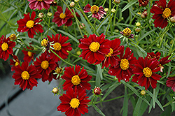 Mercury Rising Tickseed (Coreopsis 'Mercury Rising') at Wedel's Nursery, Florist and Garden Center