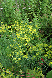 Dill (Anethum graveolens) at Wedel's Nursery, Florist and Garden Center