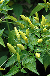 Tabasco Pepper (Capsicum frutescens 'Tabasco') at Wedel's Nursery, Florist and Garden Center