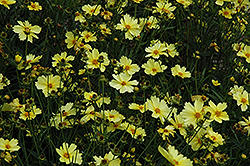Full Moon Tickseed (Coreopsis 'Full Moon') at Wedel's Nursery, Florist and Garden Center