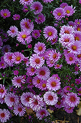 Purple Dome Aster (Aster novae-angliae 'Purple Dome') at Wedel's Nursery, Florist and Garden Center