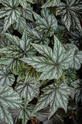 Gryphon Begonia (Begonia 'Gryphon') at Wedel's Nursery, Florist and Garden Center